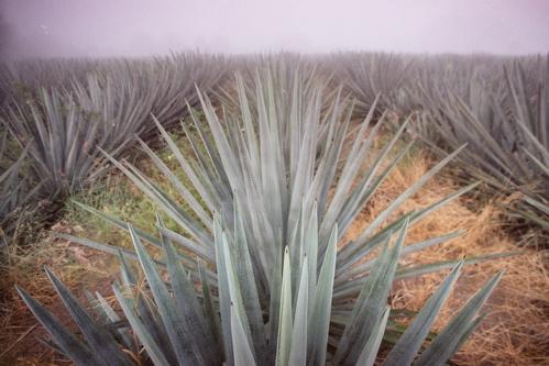 agave row 1