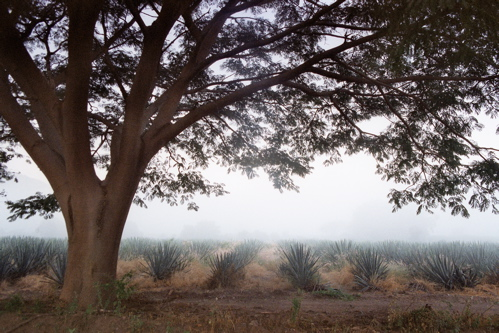 agave w/big tree